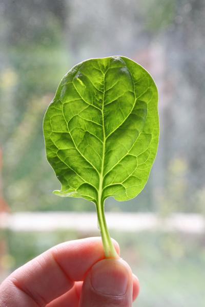 φύλλο σπανάκι